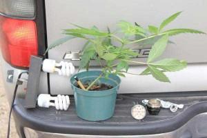 Regolamentare la coltivazione domestica della cannabis