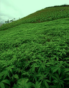 La cannabis? In ospedale