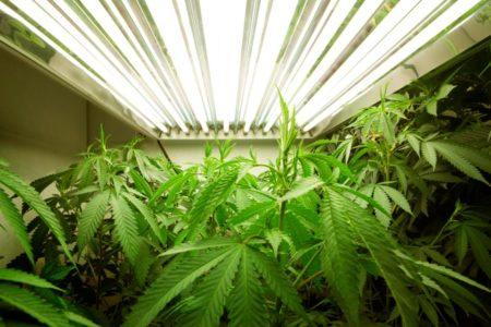 Chi ha paura della Cannabis